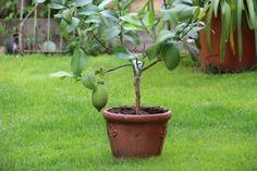 A citromfa kiválóan érezheti magát, ha nem tesszük ki a téli hidegnek. Bőségesen virágzik és méretes, ízletes gyümölcsöt is terem, ha nemes citrommal szemezzük....