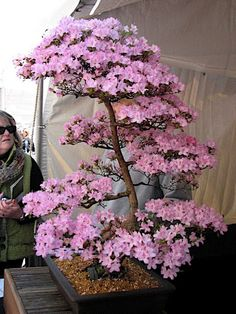 Is this a real bonsai? I want it!