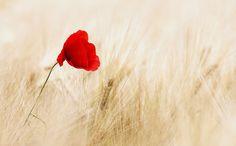 Безплатна снимка: Зърнени Култури, Поле, Узрели, Мак - Безплатни изображения на Pixabay - 100263