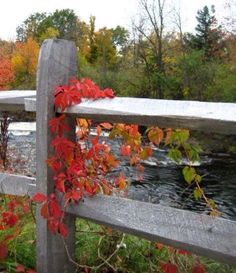 Fall colours of Virginia Creeper on fence