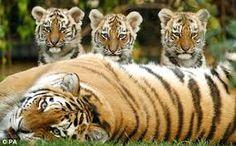 Tigris a kölykeivel