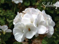 #Flores  #Syllehtek 📸