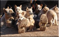 Australian Cattle Dog Puppiesbunches of li'l red dingoes!