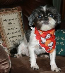 Lionel is an adoptable Shih Tzu Dog in Lewisville, TX. Lionel is a very sweet, little Shih-Tzu male that came to us very neglected. He spent a day at the spa getting a haircut and the works. He spen...