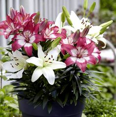 Growing Lily in containers, How to grow Lily plant, Lillium care, Problem with Lilies plant. Typically its plants and bulbs are planted in spring. Planting Bulbs, Planting Flowers, Lily Plant Types, Different Types Of Lilies, Colorful Flowers, Beautiful Flowers, Martagon Lily, Growing Lilies, Lily Care