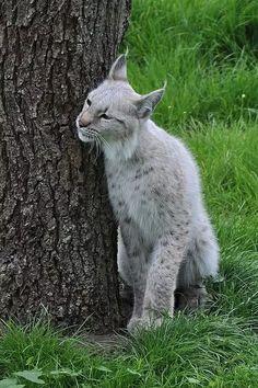 White Eurasian Lynx ( Lynx lynx )