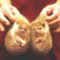 It's like Fred and George, but as Hedgehogs!!
