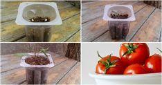 ¡Consigue enraizar bien tus tomateras y no te quedes sin tomates!