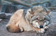 Grey Wolf #GreyWolf #Wolf #Wolves