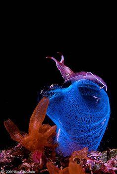 Turbelario violeta (Platelmintos) sobre ascidia azul (Tunicados). Señores, están ustedes bastante emparentados con el segundo. Foto: Rand McMeins.