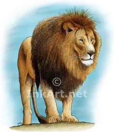 Color illustration of an African Lion (Panthera leo)