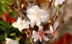 Wer am Barbaratag, den 4. Dezember, Blütenzweige schneidet und in die Vase stellt, kann sich pünktlich zum Weihnachtsfest über frische Frühlingsblüten freuen. Hier lesen Sie, was Sie bei der Treiberei der Barbarazweige beachten müssen.
