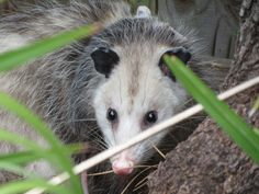 ALL OVER TEXAS ! !  These little cuties are very smart and are immune to rabies and rattlesnake venom! Opossum Facts: 10 Things You Never Knew About The Marsupial
