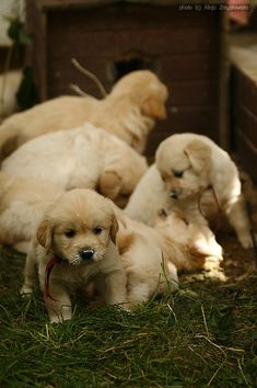"""Labrador retrievers, or """"Labs"""" as they've become fondly known, are one of the most popular dog breeds of our time. Animals And Pets, Baby Animals, Funny Animals, Cute Animals, Cute Puppies, Dogs And Puppies, Cute Dogs, Doggies, Labrador Puppies"""