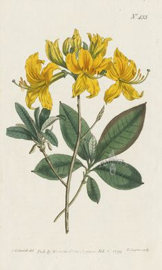 Azalea Pontica. Yellow Azalea. from Curtis prints of tiger lily, orange heliconia, honeysuckle, pomegranate, lilac, tulip tree