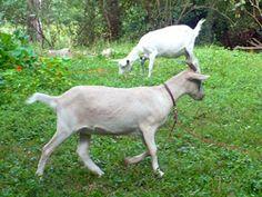 O chacie | Chata nad Wkrą Goats, Garden, Nature, Animals, Garten, Naturaleza, Animaux, Gardening, Animales