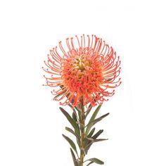 First choice for bridal bouquet. Orange Pincushion Protea