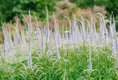 Veronicastrum virginicum 'Lavendelturm' Best planted towards the back of a sunny or partially shady border in fertile, moist, well-drained soil. Herbaceous Perennials, Planting Flowers, Plants, Purple Garden, Cool Plants, Sun Perennials, Bee Friendly Plants, September Flowers, Perennials