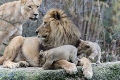 Lions at a Switzerland zoo  http://www.zooborns.com/zooborns/2014/01/four-feisty-lion-cubs-are-the-pride-of-zoo-basel.html