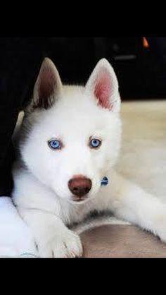 All white husky puppy
