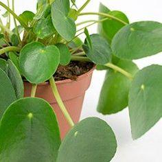 Informatie over de verzorging van de Pannenkoekenplant kamerplant ✓ Meest uitgebreide online binnenplanten encyclopedie ✓ Webshop ✓ Particulier & Zakelijk