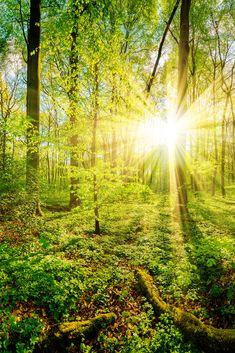Frühling im Wald bei Sonnenuntergang