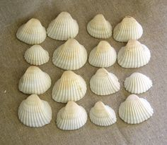 White seashells for event decor beach wedding or by mcdonuts, $5.25