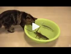 Dancing Cat, Best Funny Videos, Funny Moments, Dog Bowls, Cute Cats, Hilarious, Humor Videos, In This Moment, Funny Humor