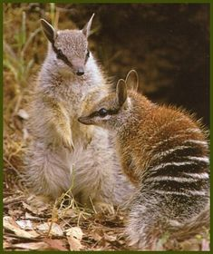 Numbats - also known as the Banded Anteater, or Walputi Reptiles, Mammals, Animals And Pets, Baby Animals, Cute Animals, Wild Animals, Australia Animals, Young Animal, Wild Dogs