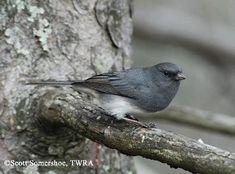 Tennessee Watchable Wildlife | Dark-eyed Junco