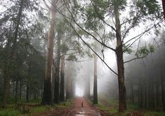 Christmas Day in the mist in a forest in Magoebaskloof, South Africa. My son was mystified by the tall trees and the mist. Your South Africa Photos -- National Geographic Time For Africa, National Geographic Travel, Local Events, Countries Of The World, Beautiful Landscapes, Countryside, South Africa, Natural Beauty, Tourism