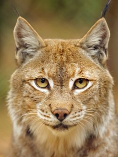 The face of a Lynx. Big Cats, Cool Cats, Cats And Kittens, Wild Animals Photography, Wildlife Photography, Nature Animals, Animals And Pets, Beautiful Cats, Animals Beautiful