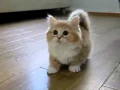 Cute little munchkin kitten!! :) Short stubby cute legs!