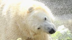 Wolodja, a two-year-old polar bear, dries off after a swim at Tiergarten Berlin zoo. Another polar bear cub, Knut, rose to world fame after he was born at a zoo in Berlin and was rejected by his mother