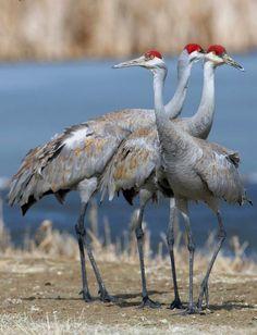 Sandhill Cranes in Idaho
