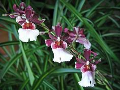 Intergeneric Orchid miltonidium bartley schwartz highlands | Miltonidium Bartley Schwartz Highland