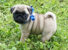 Cute Pug Puppy  I have to have one!!!!