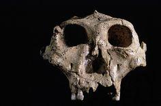 a robustus skull - Google Search