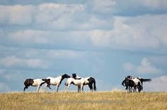 NA paint horses, (Equus caballus) Fort Belknap NA Reservation, Montana. Allen Russell photography