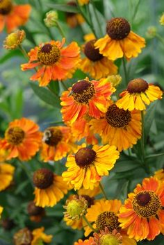 Helenium 'Mardi Gras' PP15124 (Sneezeweed or Helen's flower) - Perennial - Zones 4-8, Height 36-40 in. 'Mardi Gras' produces a festival of multicolored blooms, jazzing up the garden for six to eight weeks in mid to late summer. Yellow petals are lavishly edged with bright orange red, aging to clear red edged in gold, all surrounding deep chestnut cones. Gorgeous in a pot! Great as a cut flower, its long stems are sturdy and vase life is long. Heleniums are naturally resistant, even toxic, to…
