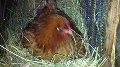 jaja u gnijezdu 21. dan kvocanja - lezanja na jajima Chicken Life, Haha