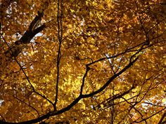 Gold color in the branches of the sugar maple at Stoneleigh. Photo by Ethan Kaufman. Natural Garden, Branches, Acre, Sugar, Gold, Eggplant, Yellow