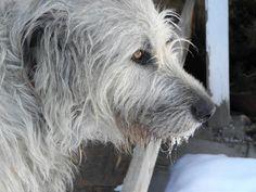 Irish Wolfhounds....