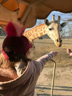 Feeding giraffes at