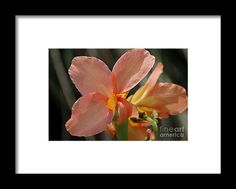 canna, orange, flower, bloom, blossom, nature, garden, michiale, schneider, photography