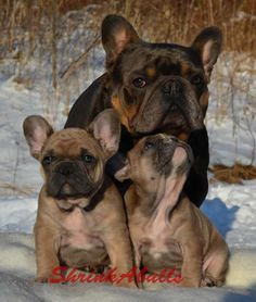 French bulldog with puppies