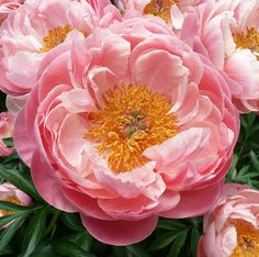 Coral Charm Peony | My favorite!
