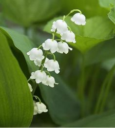 Lily of the Valley Flowers | Garden Guides