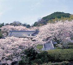 Cherry tree in full bloom, Enjo-ji temple(円城寺), Awaji, Hyogo, Japan