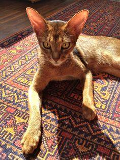 Abyssinian Cat - Sela